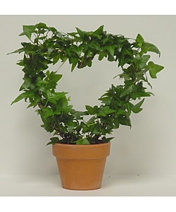 Ivy Heart Topiary in Clay Pot