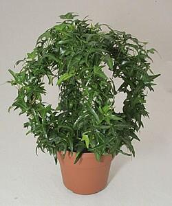 Ivy Gazebo in Plastic Pot