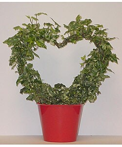 Variegated Ivy Heart in Pot Cover