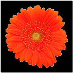 'Orange Gerbera Daisy' Small Gallery-wrapped Canvas Art