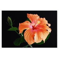 Kurt Shaffer 'Peach Hibiscus on Black' Canvas Art