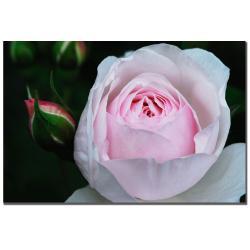 Kurt Shaffer 'Pink Rosebud' Canvas Art