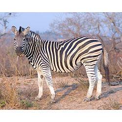 Stewart Parr 'Zebra in SABI SABI, South Africa' Unframed Print