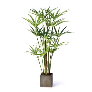 24-inch Umbrella Plant In Square Pot (Pack of 4)