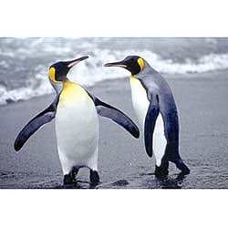 Jonathan Chester 'The Nature of Penguins' Canvas Art